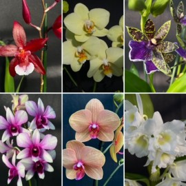 Flowering Orchids Combo Offer (6)