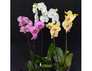 Phalaenopsis Starter Collection