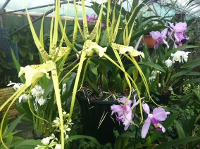 Brassia orchids in flower in Orchid Paradise