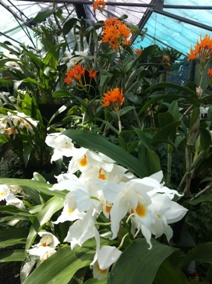 Orange cattleyas and white coelogyne orchids in flower in Orchid Paradise