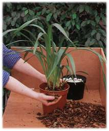 hold the plant steady and central, fill in with fresh orchid potting bark