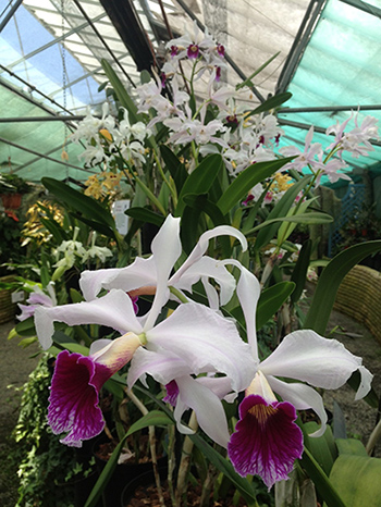 Cattleya orchids flowering in Orchid Paradise